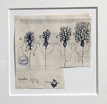 Santiago Ramón y Cajal. Fases de la sucesiva complicación del ramaje de la célula de Purkinje, 1923