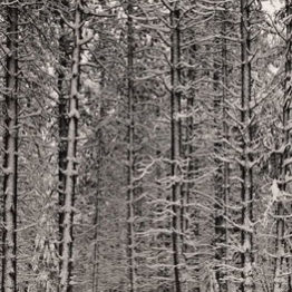 Ansel Adams, Pine Forest in Snow, Yosemite National Park, hacia 1932. The Lane Collection. © The Ansel Adams Publishing Rights Trust