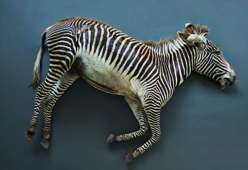 Thomas Struth. Cebra (Equus grevyi), Leibniz IZW, Berlín 2017. Cortesía Galerie Max Hetzler, Berlin│Paris│London © Thomas Struth
